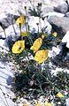 Papaver alpinum ssp. rhaeticum (Leresche) Nym. (7569738010).jpg
