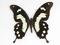PapiliohorribilisButler,1874.JPG