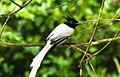 Paradise Flycatcher at Wilpattu National Park.jpg