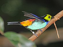 Paradise Tanager Woodland Parks Zoo RWD2.jpg