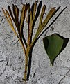 Paranomus sceptrum-gustavianum Rebelo 4.jpg