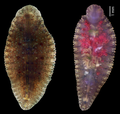 Parasite180056-fig1 Placobdelloides siamensis (Glossiphoniidae).png