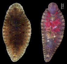 Dorsal (upper) surface and ventral (lower) surface of Placobdelloides siamensis. Ventral surface showing numerous young leeches.