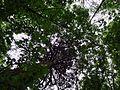 Parc National Forestier de la Poudrerie de Sevran - Séquoia géant 04.jpg