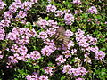 Parnassius glacialis absorbs Thymus serpyllum hunny.jpg