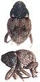 Paromalia nigricollis.jpg