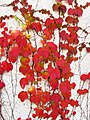 Parthenocissus tricuspidata IMG 4658.jpg