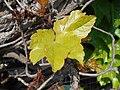 Parthenocissus tricuspidata Veitchii 2017-05-23 0457.jpg