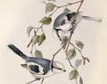 Parus cyanus. John Gould.png