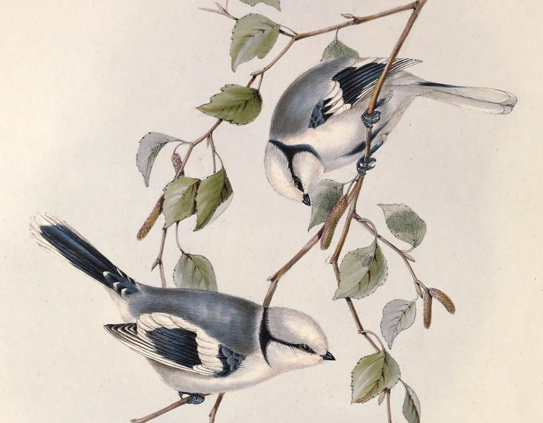 File:Parus cyanus. John Gould.png