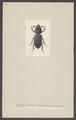 Passalus - Print - Iconographia Zoologica - Special Collections University of Amsterdam - UBAINV0274 001 04 0013.tif