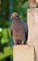 Patagioenas squamosa in Barbados a-08.jpg