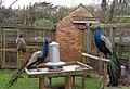 Peacock Enclosure, Upton Country Park - geograph.org.uk - 161106.jpg
