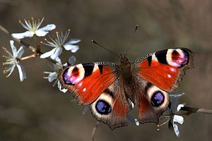 Aglais io - On blackthorn at Otmoor, Oxfordshire, England