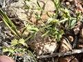 Pectocarya platycarpa 6.jpg