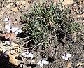 Pelargonium tricolor Nicola van Berkel 4.jpg
