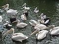 Pelicans, Jurong BirdPark 27.JPG