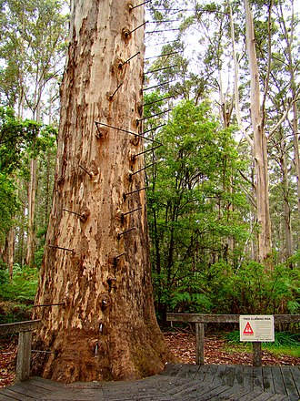 Gloucester Tree - The base of the Gloucester Tree, inviting climbers.