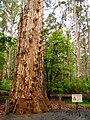 Pemberton Gloucester Tree Base.jpg
