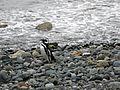 Penguin - Pingüino Magallánico - Flickr - Breathe .-.jpg