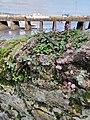 Penzance - Pink-headed Persicaria.jpg
