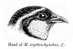 Painted bush quail - Head of male