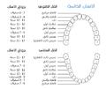 Permanent Teeth.png