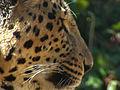 Persian Leopard 04.JPG