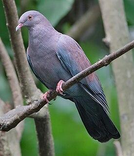 Maranon pigeon species of bird