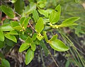 Petalostigma pachyphyllum female flower.jpg