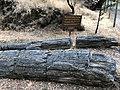 Petrified Redwood - Sequoia langsdorfii, Metasequoia - 6.jpg