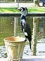 Phalacrocorax carbo -Wilhelma Zoo, Stuttgart, Germany-8.jpg