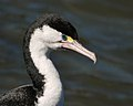 Phalacrocorax varius -Queen Charlotte Sound, Marlborough, New Zealand -head-8.jpg