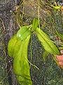 Phalaenopsis 2.jpg