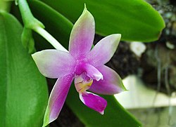 Flower of Phalaenopsis violacea