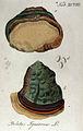 Phellinus igniarius Ypey98.jpg