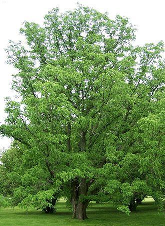 Phellodendron amurense - Image: Phellodendron amurense Morton