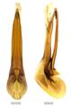 Philonthus splendens (Fabricius, 1792) Genital.png
