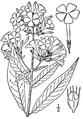 Phlox paniculata L. Fall phlox.tiff