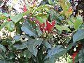 Photinia integrifolia at Mannavan Shola, Anamudi Shola National Park, Kerala (4).jpg