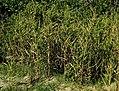 Phragmites australis habit.jpg