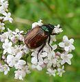 Phyllopertha horticola.Garden Chafer. Cetoniinae. Scarabaeidae - Flickr - gailhampshire.jpg