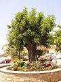Piazza del Millenario, Pioppi (Salerno, Italy), pianta di carrubo.JPG