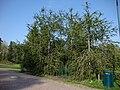 Picea abies f virgata Käärmekuusi Ormgran C DSC02600.JPG