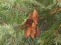 Picea omorika cone.JPG