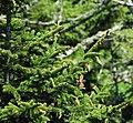 Picea rubens (red spruce) (Clingmans Dome, Great Smoky Mountains, North Carolina, USA) 3 (36175152864).jpg
