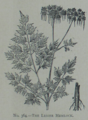 Picture Natural History - No 364 - The Lesser Hemlock.png