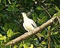 Pied Imperial Pigeon, Ducula bicolor bicolor - Flickr - Lip Kee (1).jpg