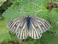Pieris bryoniae (35349475932).jpg