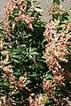 Pieris japonica Dorothy Wycoff 2zz.jpg